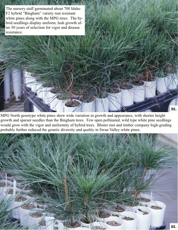 "The nursery staff germinated about 700 Idaho F2 hybrid ""Bingham"" variety rust resistant white pines along with the MPG trees.."