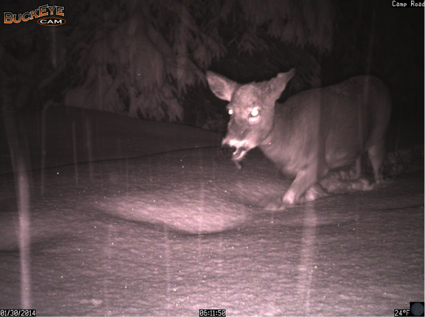 This white-tailed deer trudges through the snow on Camp Road