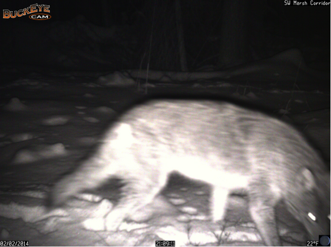 This week, a coyote crossed the SW Marsh Corridor camera 24 minutes after a white-tailed deer passed through the same location