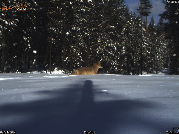 This coyote moves through the deep snow that covers the Firebreak.