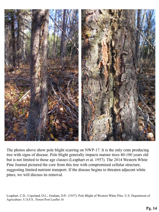 The photos above show pole blight scarring on NWP-17. It is the only cone producing tree with signs of disease. Pole blight generally impacts mature trees 40-100 years old but is not limited to those age classes (Leaphart et al. 1957). The 2014 Western Wh