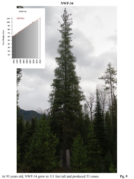 At 93 years old, NWP-34 grew to 111 feet tall and produced 53 cones.