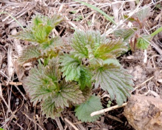 Stinging Nettle young plants by Rebecca Durham
