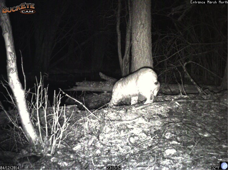 A bobcat travelled through the north side of Entrance Marsh this week.