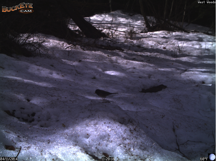 This dark-eyed junco searches for seeds in the melting snow.