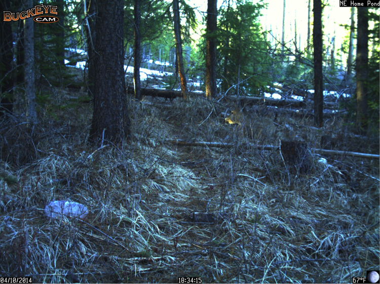 This white-tailed deer finds a nice place to bed for the afternoon. Can you spot it?