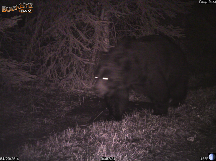 When the bear finished rubbing, it continued north up Camp Road.