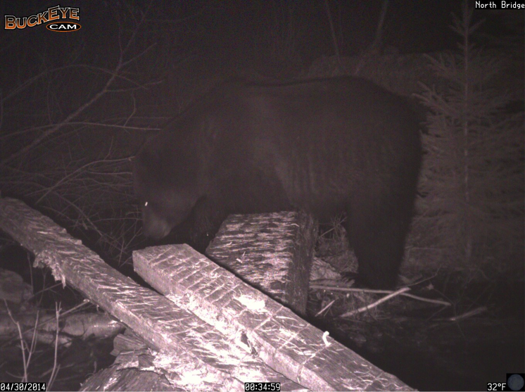 Ten days later, a grizzly resembiling the previous bear rested on North Bridge to peer into the creek.