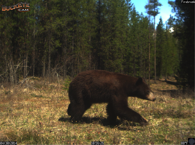 This black bear walked east to west through the property.
