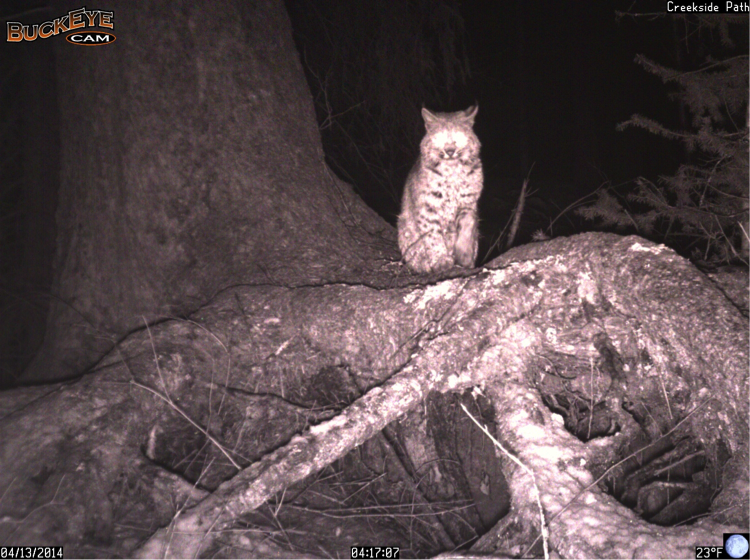 A bobcat remained in front of this Buckeye for over an hour, producing 28 images. This is the longest bobcat capture event we have on record! It groomed itself and stretched throughout its extended visit.