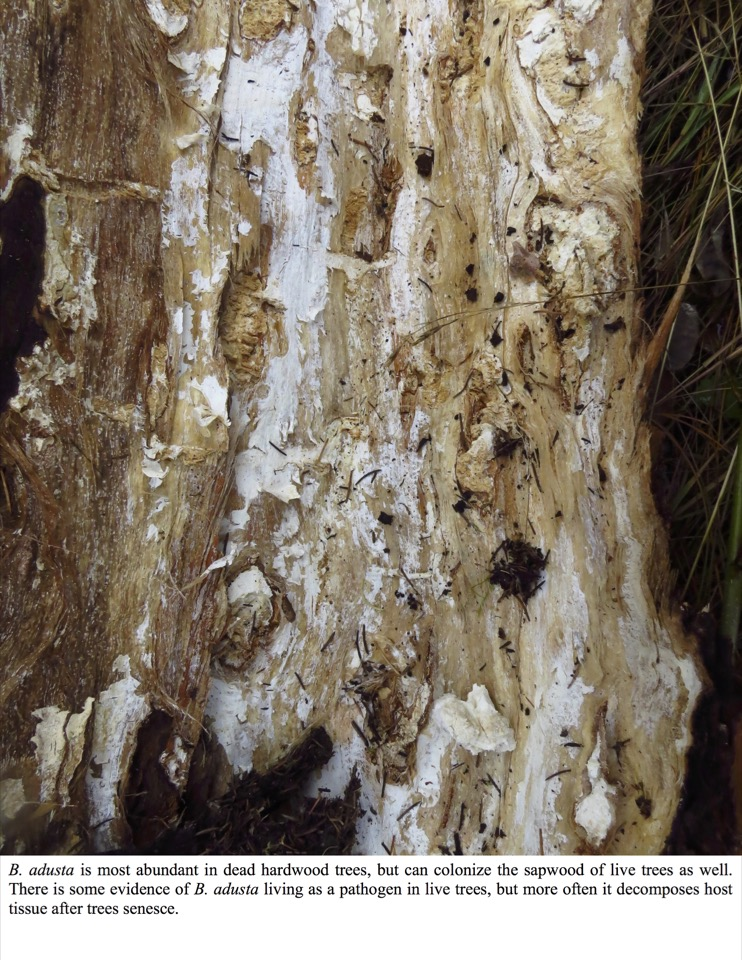 B. adusta is most abundant in dead hardwood trees, but can colonize the sapwood of live trees as well.