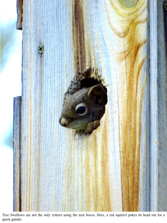 ee Swallows are not the only critters using the nest boxes. Here, a red squirrel pokes its head out for a quick gander.