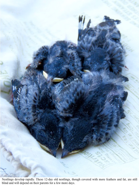 Nestlings develop rapidly. These 12-day old nestlings, though covered with more feathers and fat, are still blind and will depend on their parents for a few more days.