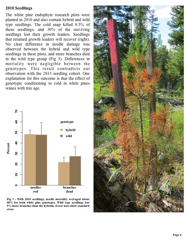 The white pine endophyte research plots were planted in 2010 and also contain hybrid and wild type seedlings.