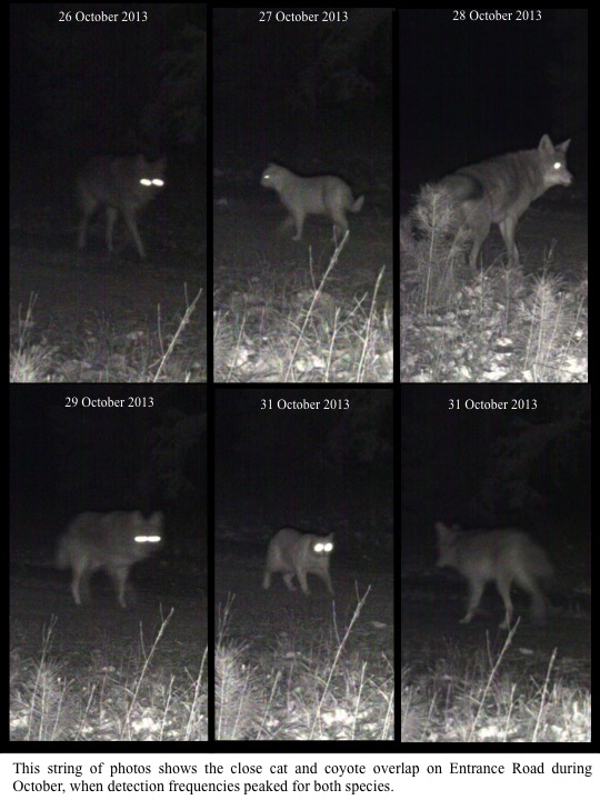 This string of photos shows the close cat and coyote overlap on Entrance Road during October, when detection frequencies peaked for both species.