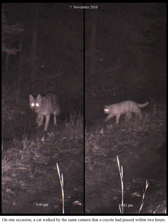 On one occasion, a cat walked by the same camera that a coyote had passed within two hours.