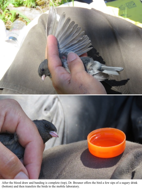After the blood draw and banding is complete (top), Dr. Breuner offers the bird a few sips of a sugary drink (bottom) and then transfers the birds to the mobile laboratory.