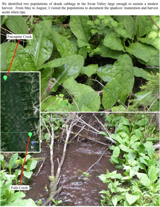We identified two populations of skunk cabbage in the Swan Valley large enough to sustain a modest harvest.