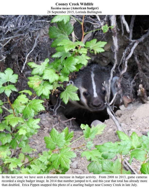 From 2008 to 2013, game cameras recorded a single badger image. In 2014 that number jumped to 6, and this year that total has already more than doubled.