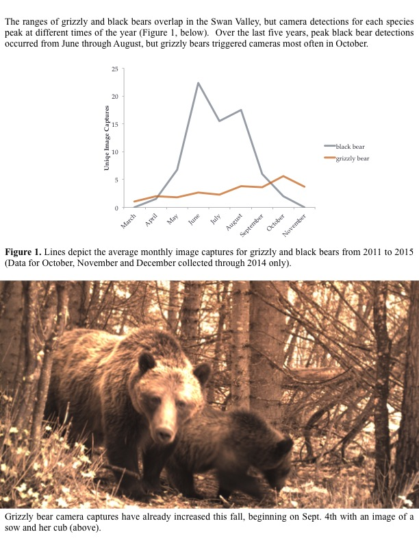 The ranges of grizzly and black bears overlap in the Swan Valley, but camera detections for each species peak at different times of the year.