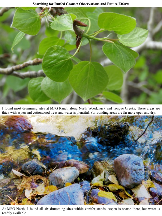 I found most drumming sites at MPG Ranch along North Woodchuck and Tongue Creeks. These areas are thick with aspen and cottonwood trees and water is plentiful. Surrounding areas are far more open and dry.