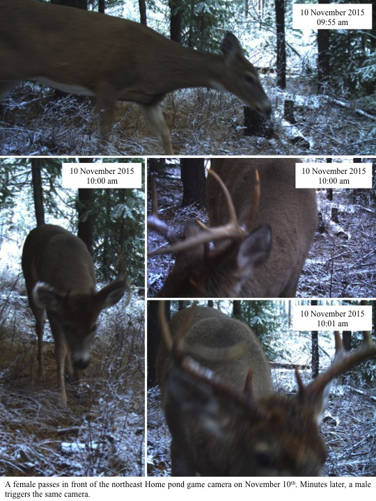 A female passes in front of the northeast Home pond game camera on November 10th. Minutes later, a male triggers the same camera.