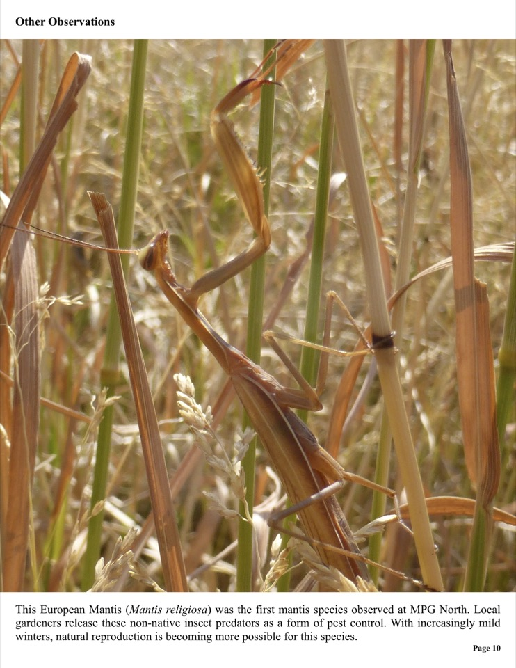 This European Mantis (Mantis religiosa) was the first mantis species observed at MPG North
