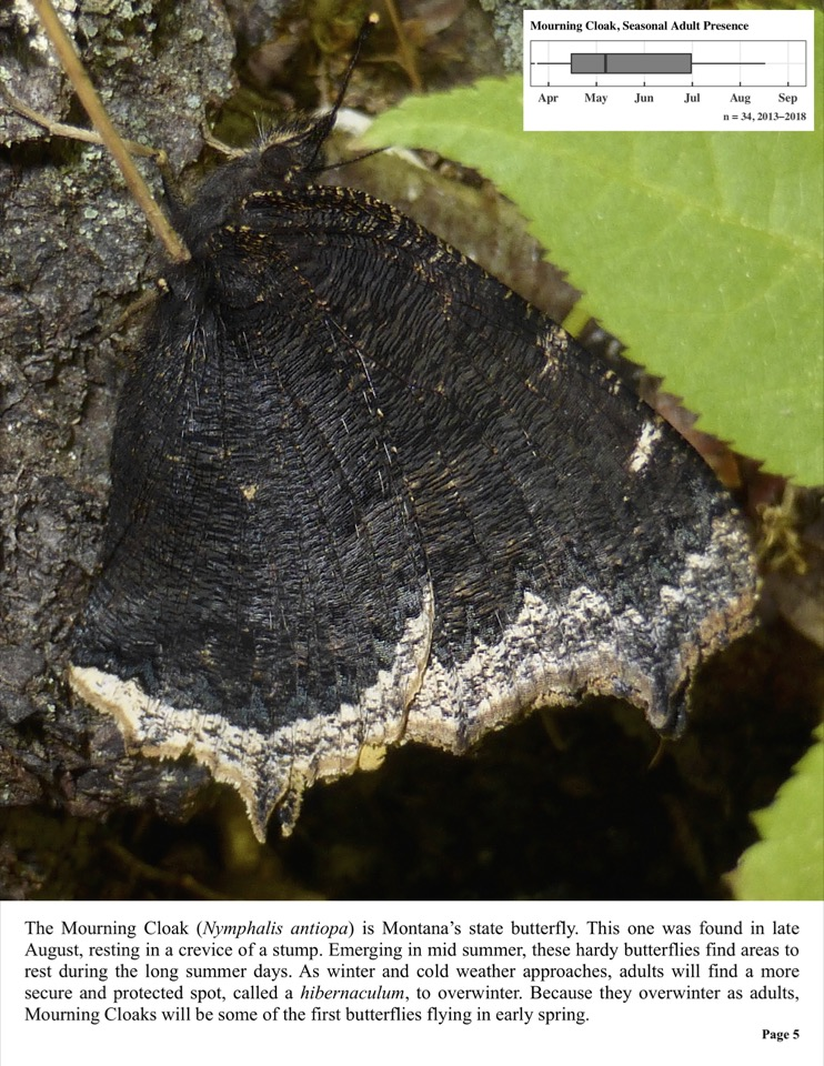 The Mourning Cloak (Nymphalis antiopa) is Montana's state butterfly.