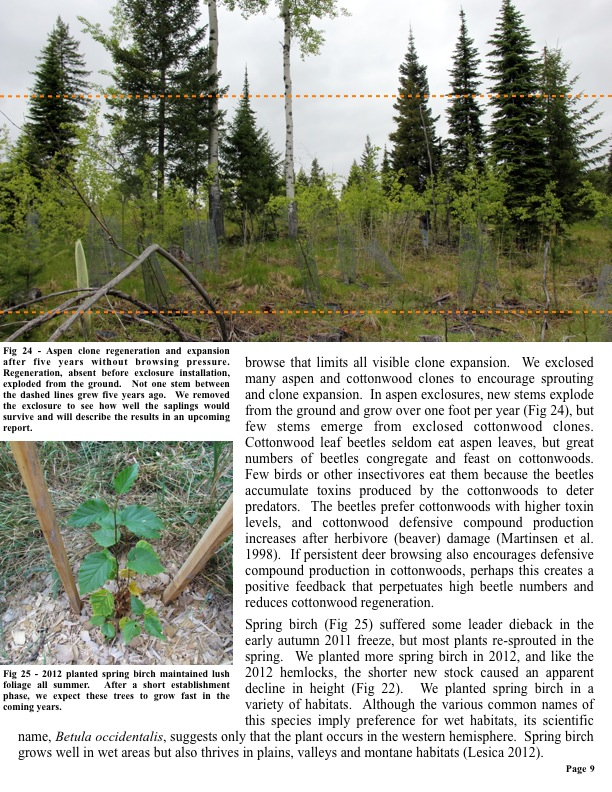 Fig 24 - Aspen clone regeneration and expansion after five years without browsing pressure. Regeneration, absent before exclo...