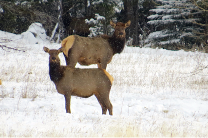 Near the end of the day we sighted an elk herd after crossing their tracks in the thick forest.
