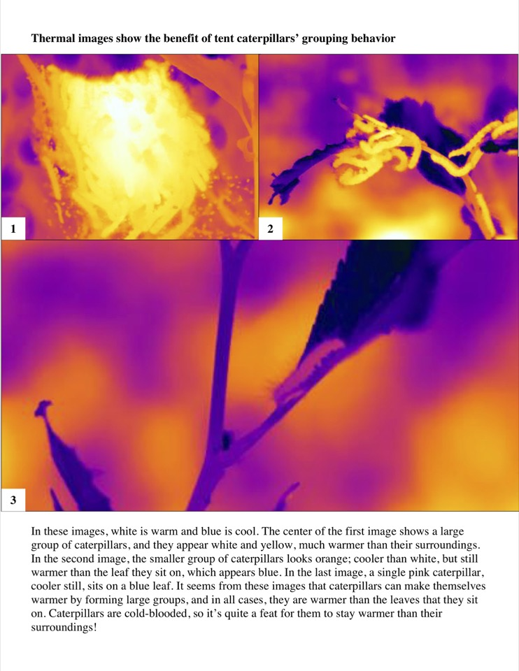 Thermal images show the benefit of tent caterpillars' grouping behavior