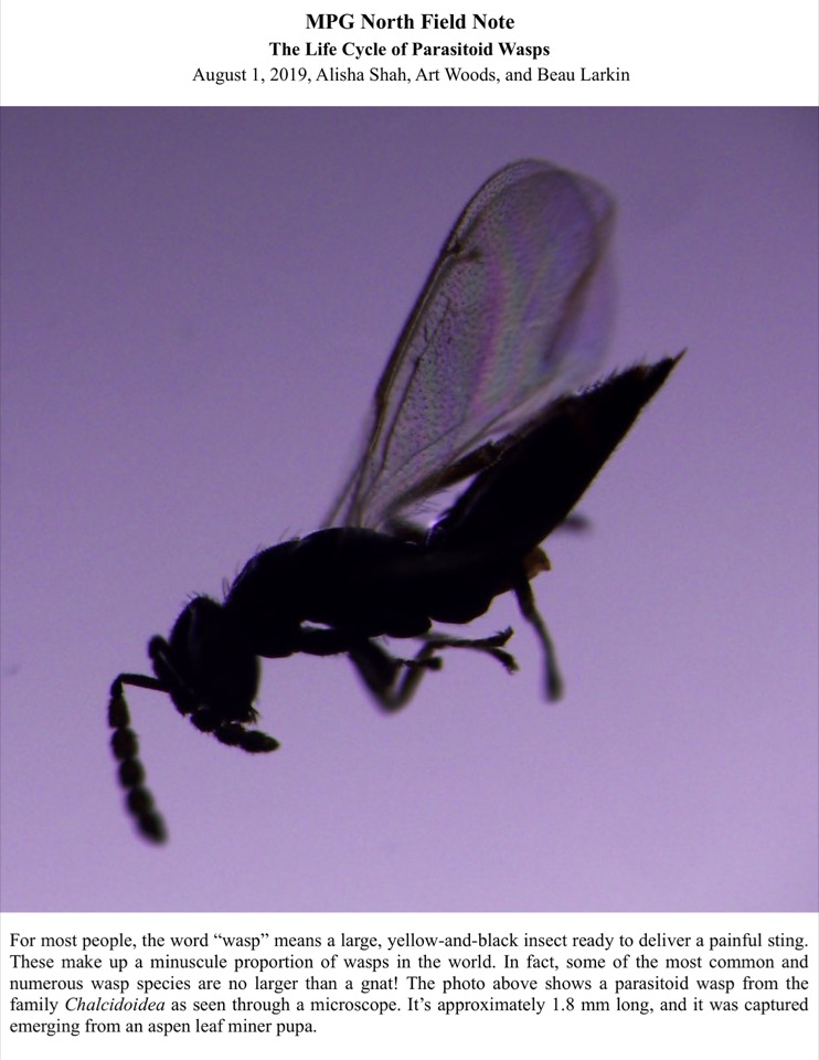 MPG North Field Note The Life Cycle of Parasitoid Wasps August 1, 2019, Alisha Shah, Art Woods, and Beau Larkin