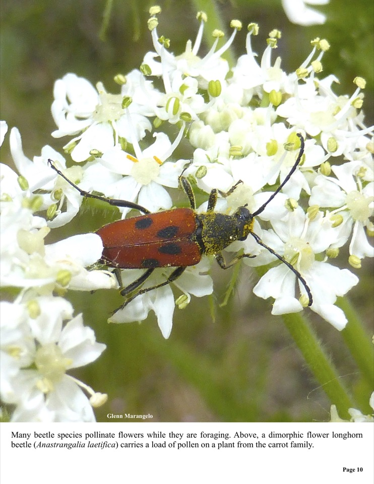 a dimorphic flower longhorn beetle (Anastrangalia laetifica) carries a load of pollen on a plant from the carrot family.