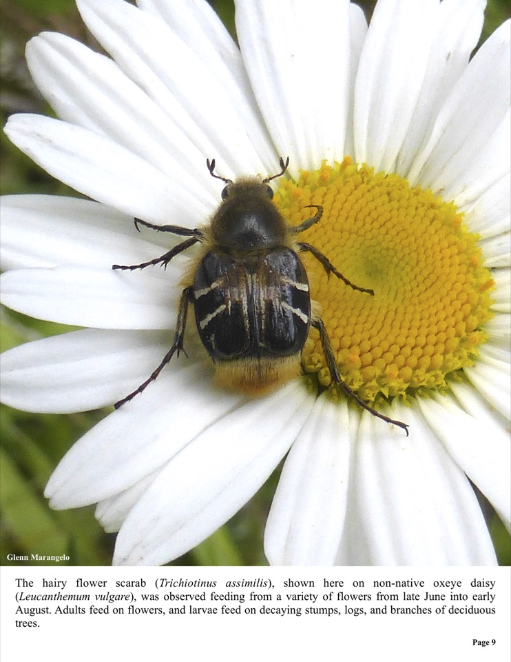 The hairy flower scarab (Trichiotinus assimilis), shown here on non-native oxeye daisy (Leucanthemum vulgare), was observed feeding from a variety of flowers from late June into early August