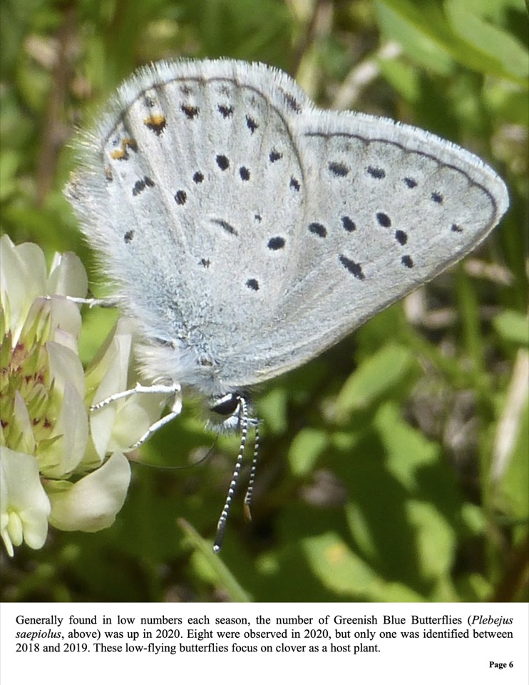 Generally found in low numbers each season, the number of Greenish Blue Butterflies (Plebejus saepiolus, above) was up in 2020.