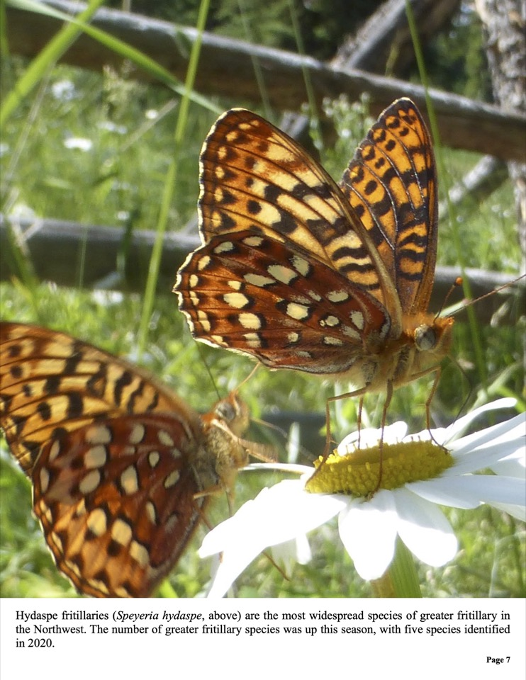 The number of greater fritillary species was up this season, with five species identified in 2020.