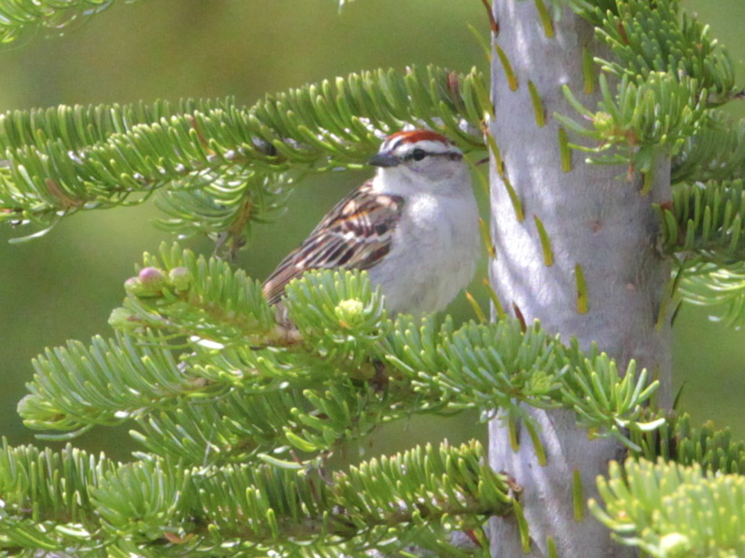 Chipping Sparrow by Alan Ramsey