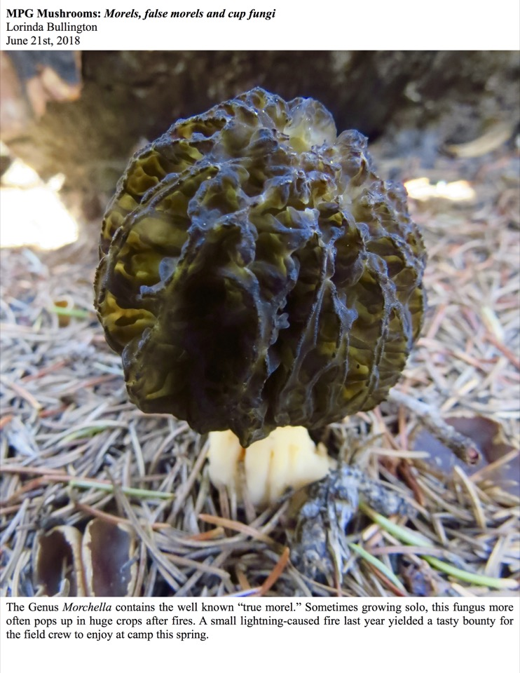 "The Genus Morchella contains the well known ""true morel."""
