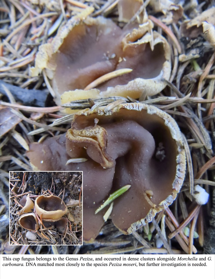 This cup fungus belongs to the Genus Peziza, and occurred in dense clusters alongside Morchella and G. carbonara