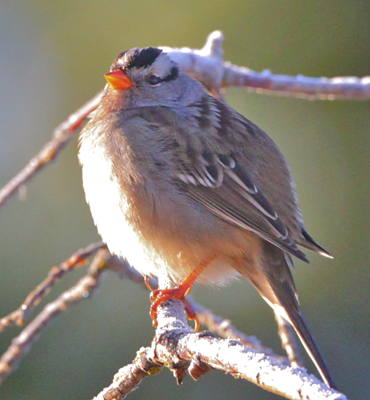 White-crowned Sparrow by Alan Ramsey