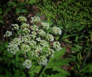 Cow parsnip heracleum sphondylium mpg north numerous small white or slightly pinkish flowers in a large flat topped cluster called compound umbels flower clusters up to 1 foot across mightylinksfo