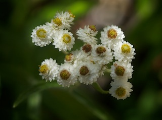 Pearly everlasting anaphalis margaritacea mpg north an inconspicuous center of small yellow to brownish at maturity disk flowers surrounded by overlapping rows of pearly white papery bracts mightylinksfo Gallery