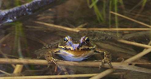 Columbia Spotted Frog by Alan Ramsey