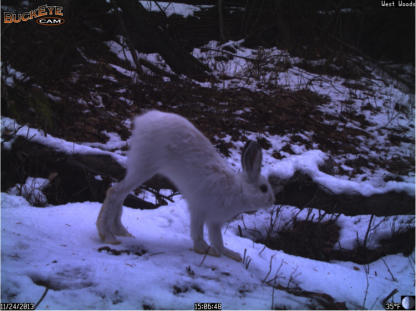 This week's capture totals include several images of snowshoe hares, putting them at third place in the roster. Their seasonal white coats provide camouflage as they bound across the crust of snow on broad feet.