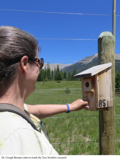 Dr. Creagh Breuner (above) leads the Tree Swallow research.