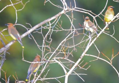 Cedar Waxwings by Alan Ramsey