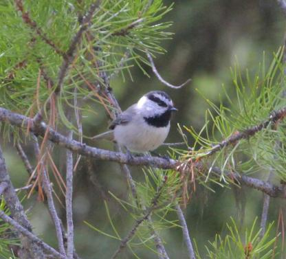 Mountain Chickadee by Alan Ramsey