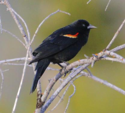 Red-winged Blackbird by Alan Ramsey