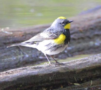 Yellow-rumped Warbler by Alan Ramsey