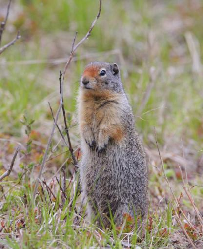 Columbian Ground Squirrel by Alan Ramsey